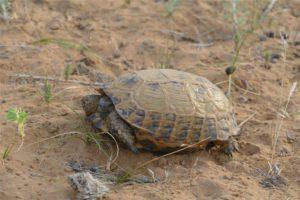 Small Turtles in Uzbek Desert