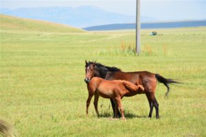 Free roaming horses in the Kazakh steppe