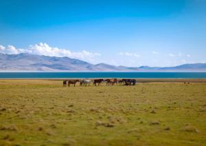 Horses at Son Kul Lake in Kyrgyzstan
